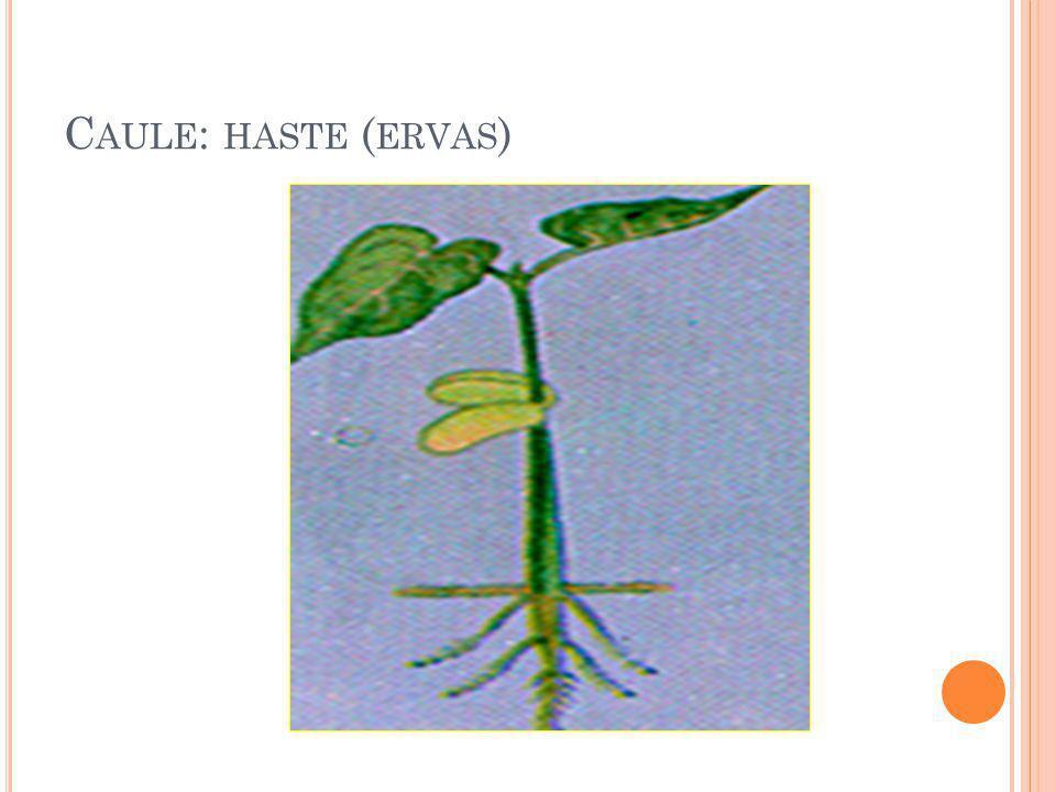 C AULE : HASTE ( ERVAS )