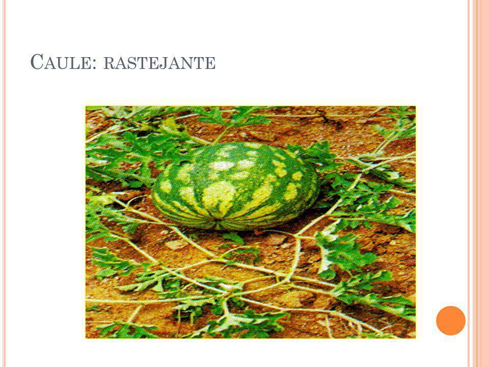C AULE : RASTEJANTE