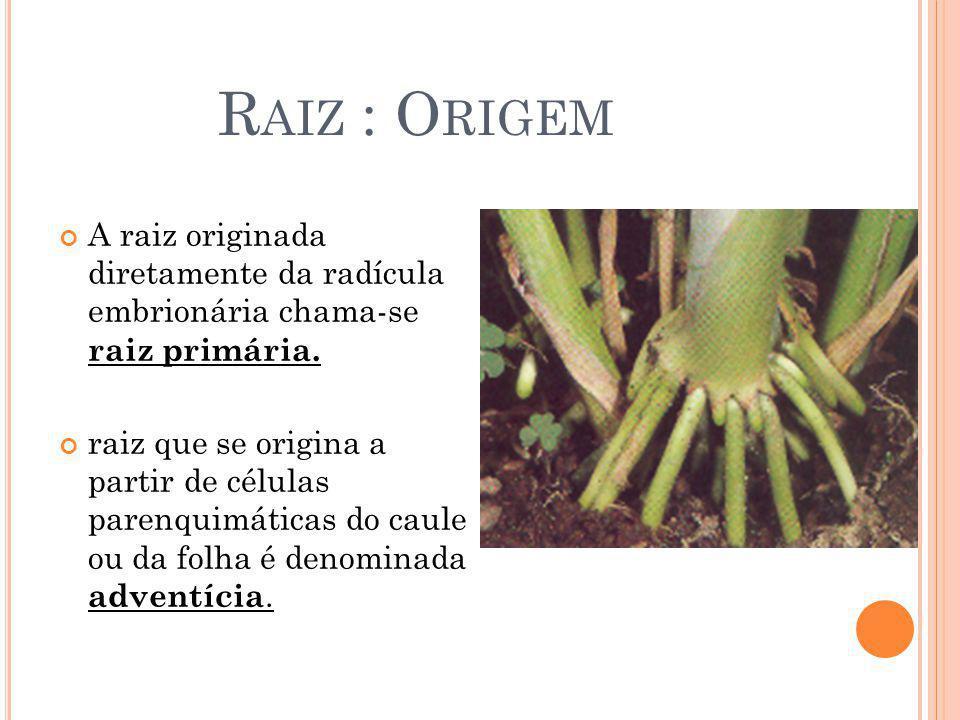 R AIZ : O RIGEM A raiz originada diretamente da radícula embrionária chama-se raiz primária. raiz que se origina a partir de células parenquimáticas d