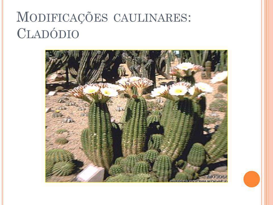 M ODIFICAÇÕES CAULINARES : C LADÓDIO