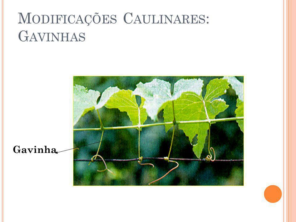 M ODIFICAÇÕES C AULINARES : G AVINHAS Gavinha