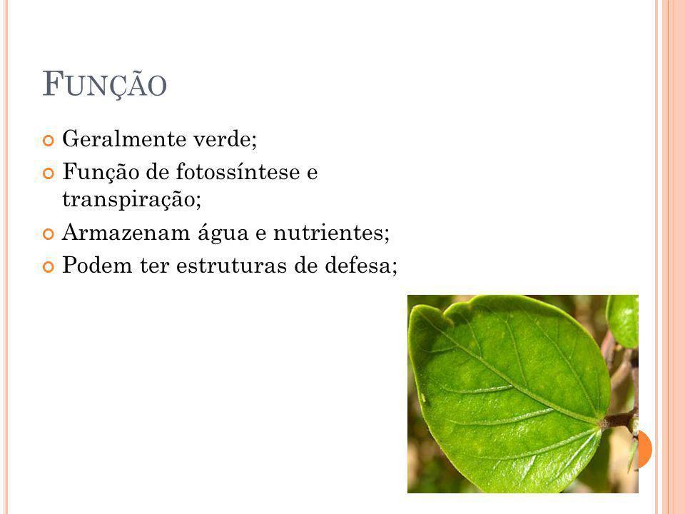 F UNÇÃO Geralmente verde; Função de fotossíntese e transpiração; Armazenam água e nutrientes; Podem ter estruturas de defesa;