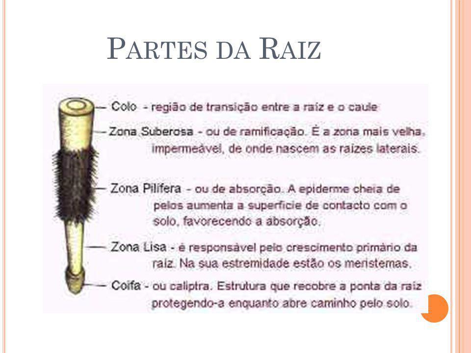 P ARTES DA R AIZ