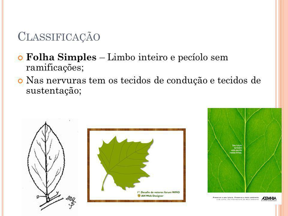 C LASSIFICAÇÃO Folha Simples – Limbo inteiro e pecíolo sem ramificações; Nas nervuras tem os tecidos de condução e tecidos de sustentação;