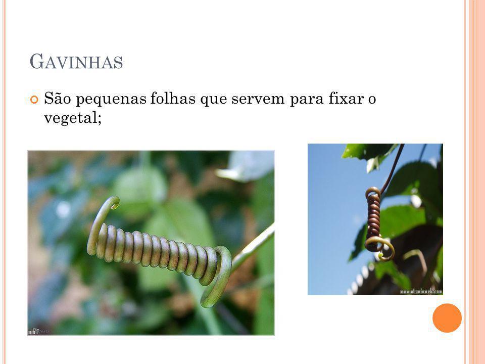 G AVINHAS São pequenas folhas que servem para fixar o vegetal;