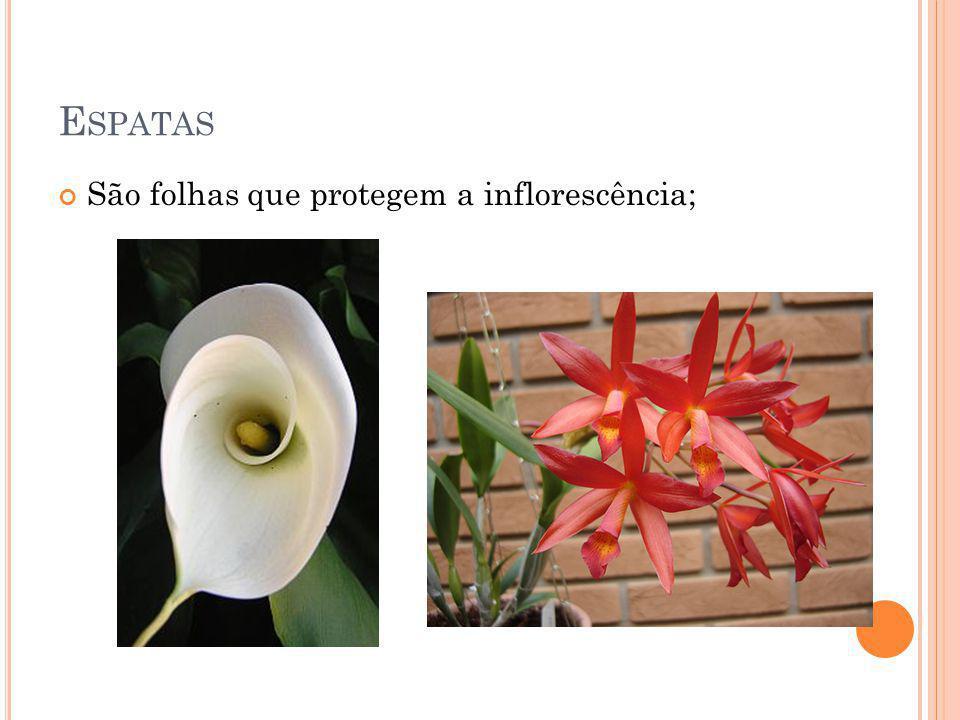 E SPATAS São folhas que protegem a inflorescência;