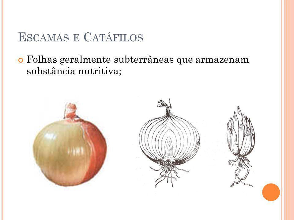 E SCAMAS E C ATÁFILOS Folhas geralmente subterrâneas que armazenam substância nutritiva;