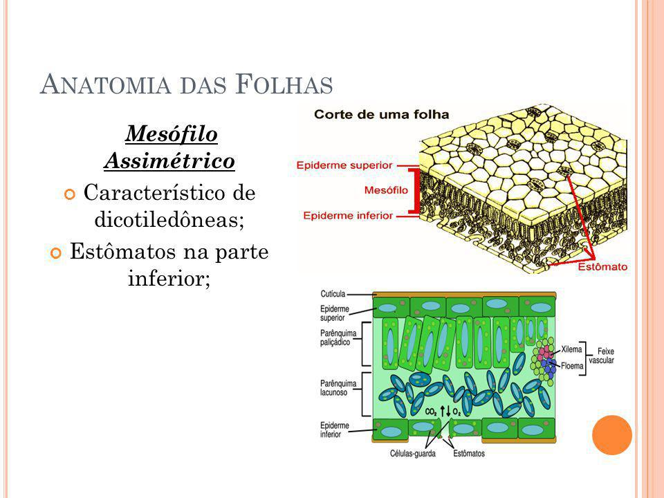 A NATOMIA DAS F OLHAS Mesófilo Assimétrico Característico de dicotiledôneas; Estômatos na parte inferior;