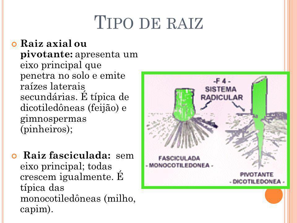 Raiz axial ou pivotante: apresenta um eixo principal que penetra no solo e emite raízes laterais secundárias. É típica de dicotiledôneas (feijão) e gi