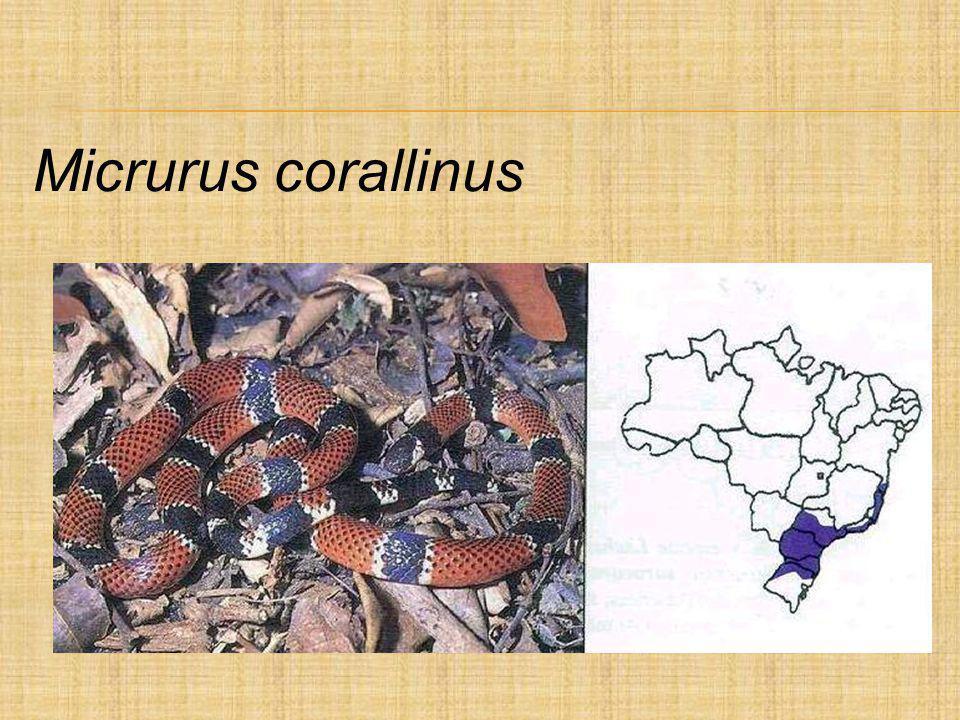 Micrurus corallinus
