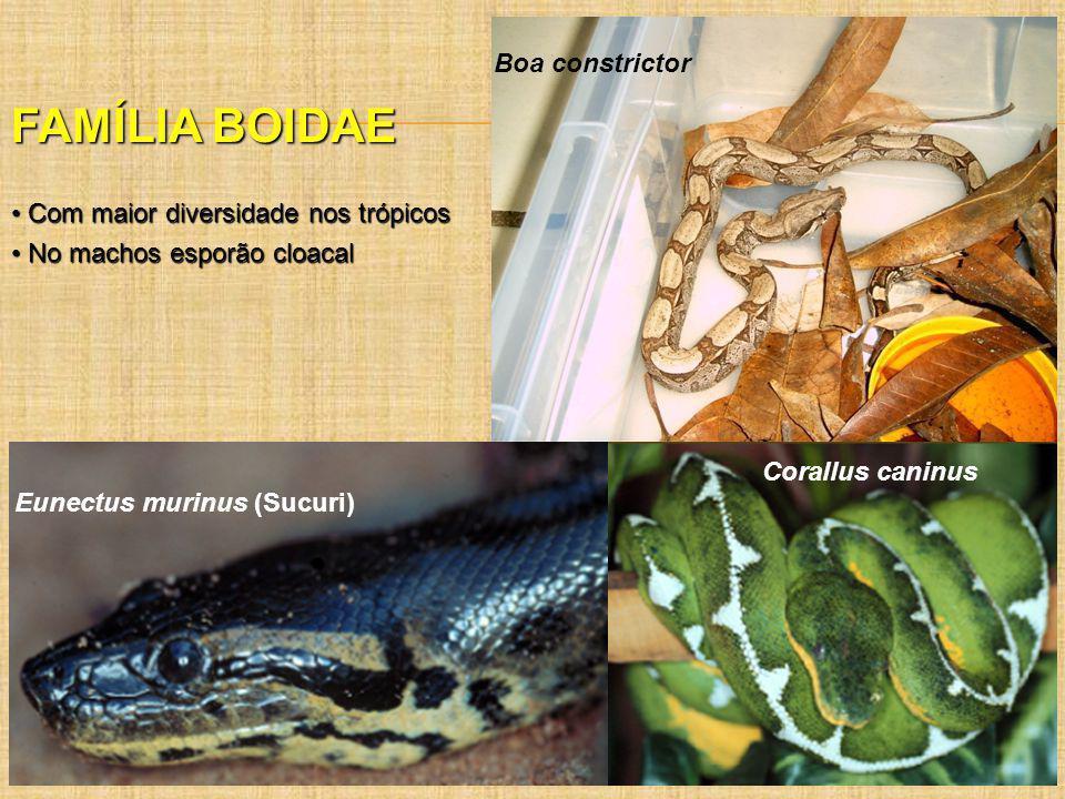 FAMÍLIA BOIDAE Com maior diversidade nos trópicos Com maior diversidade nos trópicos No machos esporão cloacal No machos esporão cloacal Corallus cani