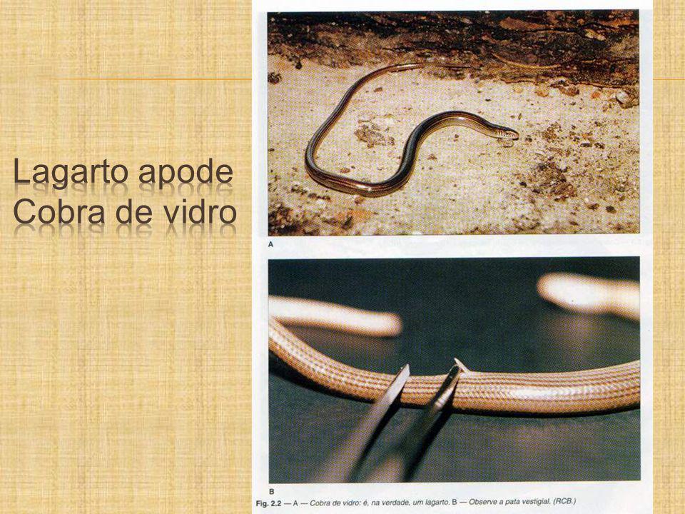 Chalcides striatus (cobra de pernas tridactila)