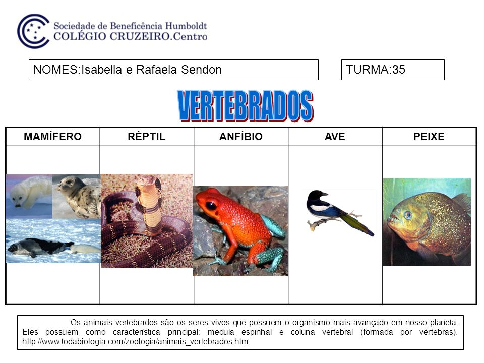 MAMÍFERORÉPTILANFÍBIOAVEPEIXE NOMES:Isabella e Rafaela SendonTURMA:35 Os animais vertebrados são os seres vivos que possuem o organismo mais avançado em nosso planeta.