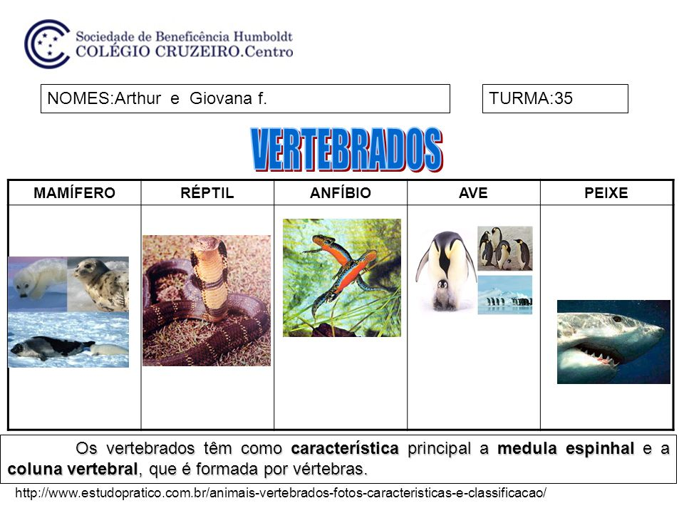 MAMÍFERORÉPTILANFÍBIOAVEPEIXE NOMES:Arthur e Giovana f.TURMA:35 Os vertebrados têm como característica principal a medula espinhal e a coluna vertebral, que é formada por vértebras.