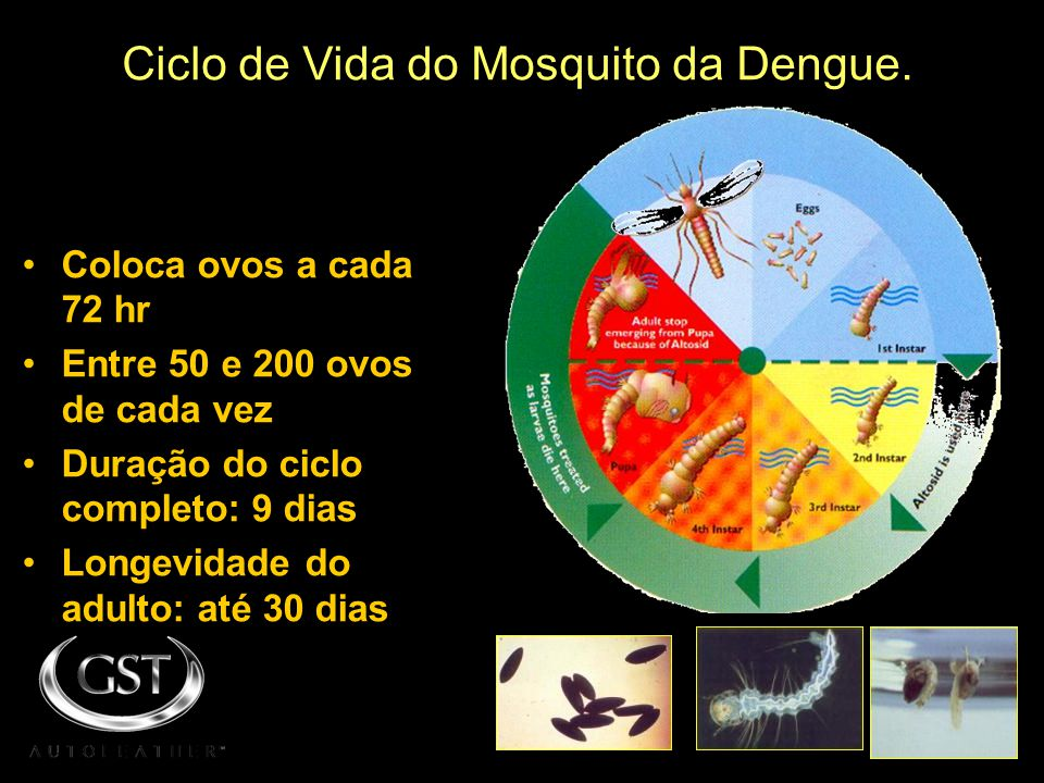 Ciclo de Vida do Mosquito da Dengue.