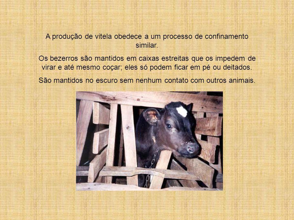 Na produção de suínos, os animais são mantidos em cercados de concreto sem nenhuma forragem de palha ou terra, sem poderem se mover mais do que poucos