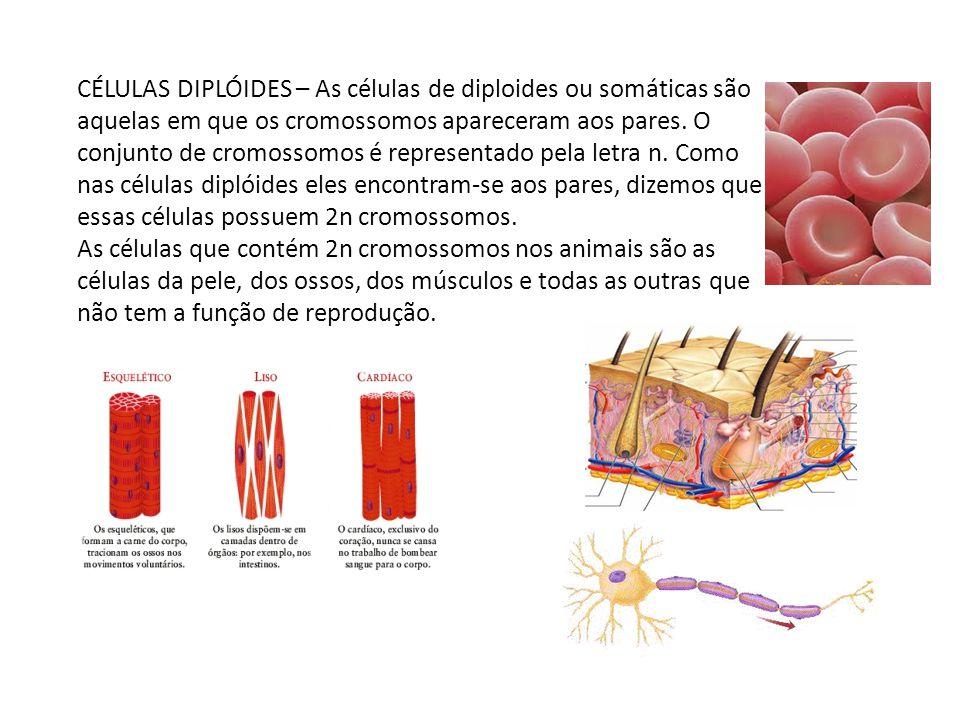 CÉLULAS DIPLÓIDES – As células de diploides ou somáticas são aquelas em que os cromossomos apareceram aos pares. O conjunto de cromossomos é represent