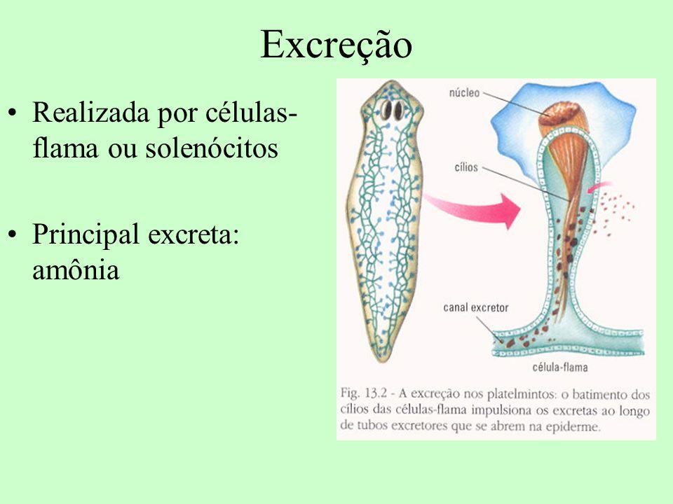 Excreção Realizada por células- flama ou solenócitos Principal excreta: amônia