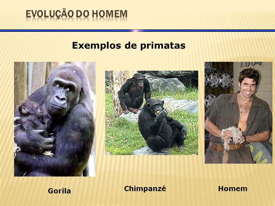 Exemplos de primatas Gorila ChimpanzéHomem