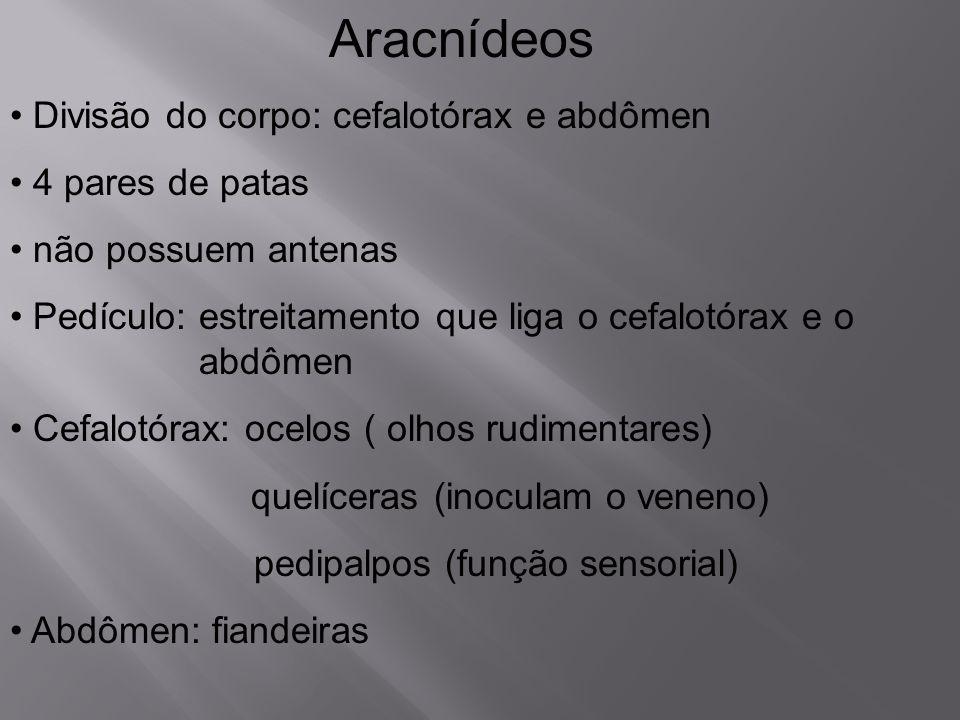 Aracnídeos Divisão do corpo: cefalotórax e abdômen 4 pares de patas não possuem antenas Pedículo: estreitamento que liga o cefalotórax e o abdômen Cef
