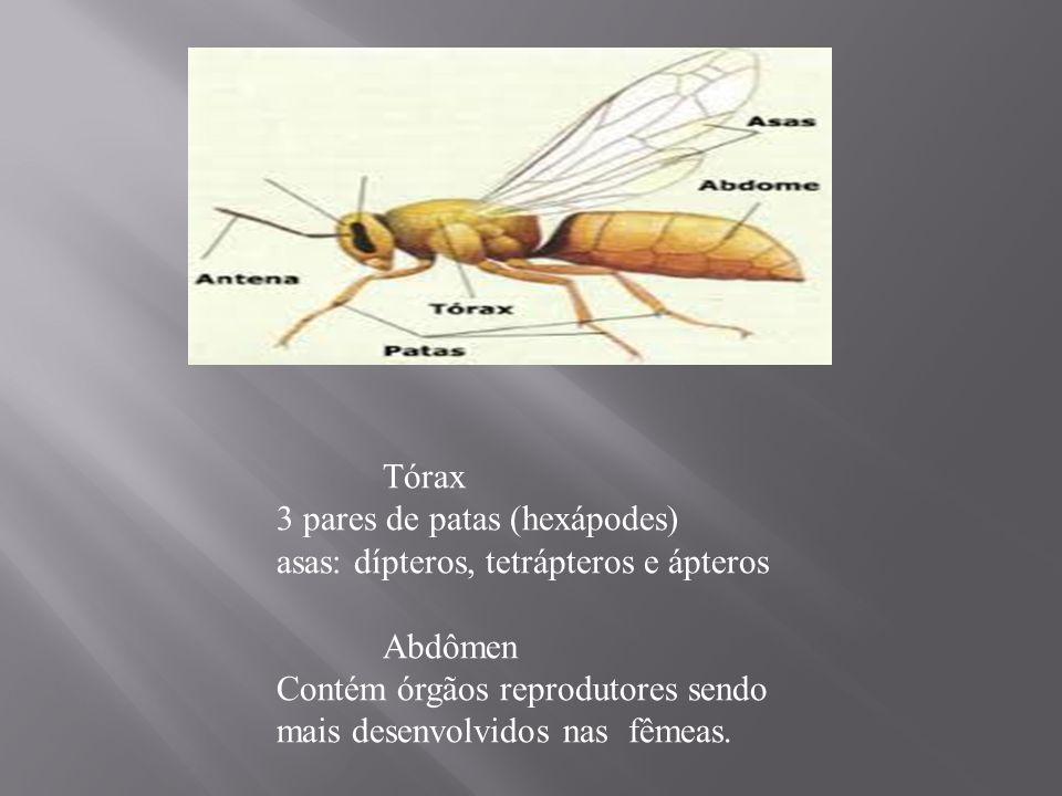 Tórax 3 pares de patas (hexápodes) asas: dípteros, tetrápteros e ápteros Abdômen Contém órgãos reprodutores sendo mais desenvolvidos nas fêmeas.