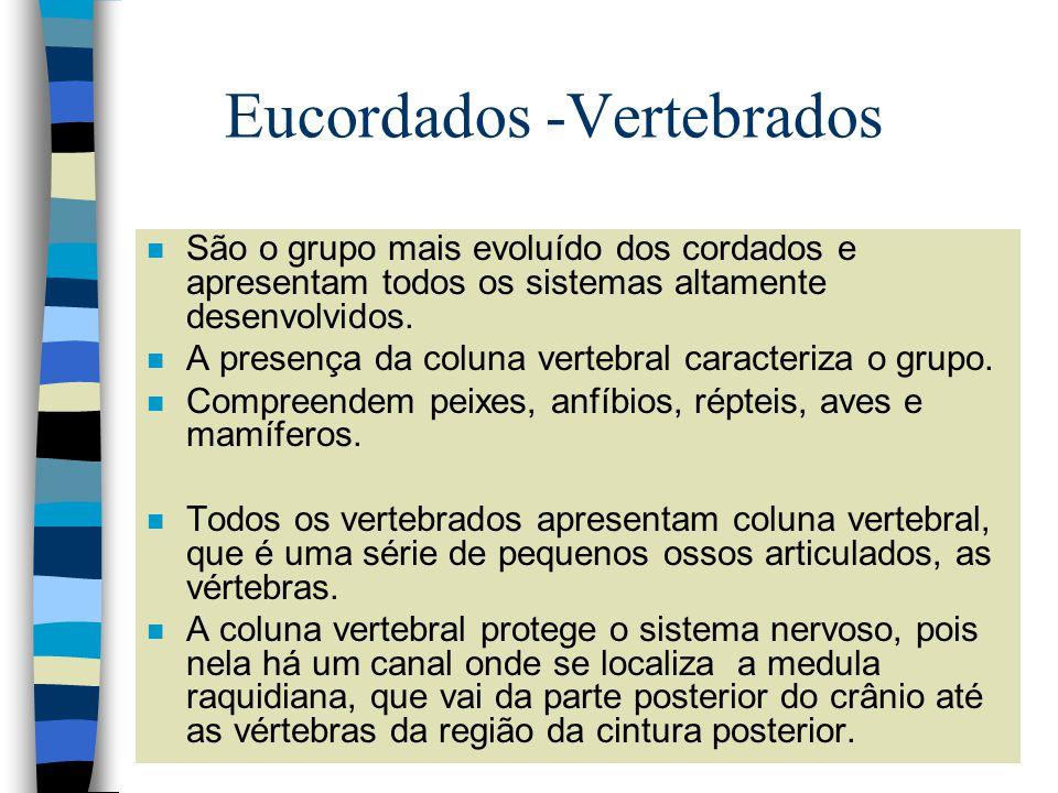 Eucordados -Vertebrados n São o grupo mais evoluído dos cordados e apresentam todos os sistemas altamente desenvolvidos. n A presença da coluna verteb