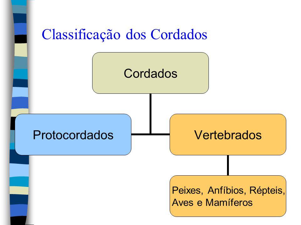 Classificação dos Cordados Cordados ProtocordadosVertebrados Peixes, Anfíbios, Répteis, Aves e Mamíferos