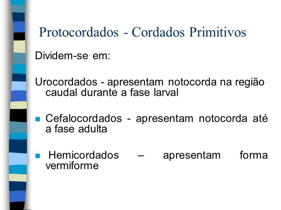 Protocordados - Cordados Primitivos Dividem-se em: Urocordados - apresentam notocorda na região caudal durante a fase larval n Cefalocordados - aprese