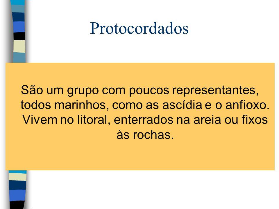 Protocordados São um grupo com poucos representantes, todos marinhos, como as ascídia e o anfioxo. Vivem no litoral, enterrados na areia ou fixos às r