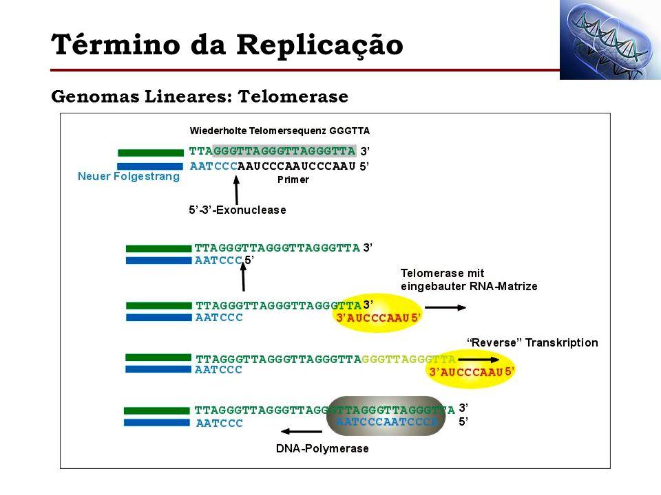 Genomas Lineares: Telomerase Término da Replicação