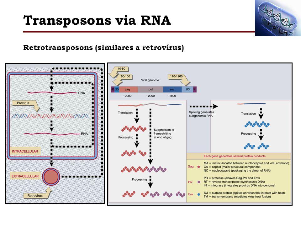 Transposons via RNA Retrotransposons (similares a retrovírus)