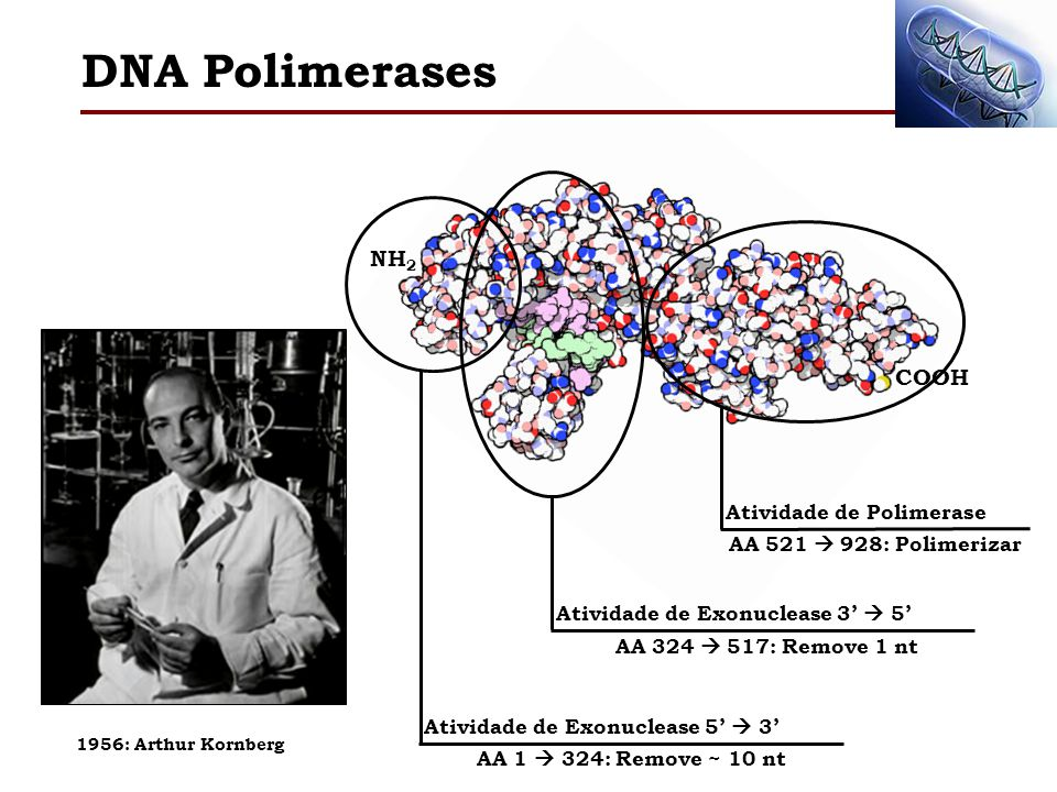 NH 2 COOH Atividade de Exonuclease 5 3 AA 1 324: Remove ~ 10 nt Atividade de Exonuclease 3 5 AA 324 517: Remove 1 nt Atividade de Polimerase AA 521 92