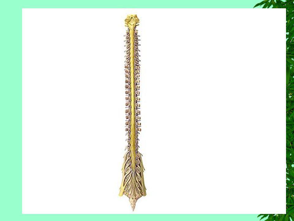 Formula Estrutural Geral da Medula Seu calibre não é uniforme Apresenta 2 dilatações denominadas intumescência cervical e intumescência lombar, destinados a inervação dos membros superiores e inferiores.