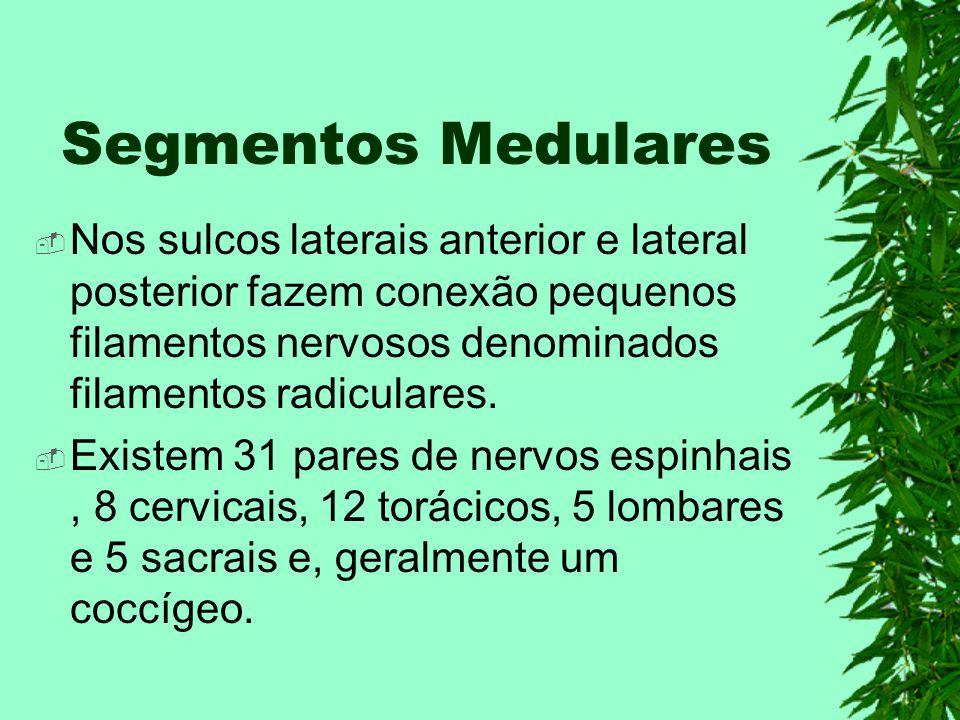 Segmentos Medulares Nos sulcos laterais anterior e lateral posterior fazem conexão pequenos filamentos nervosos denominados filamentos radiculares. Ex