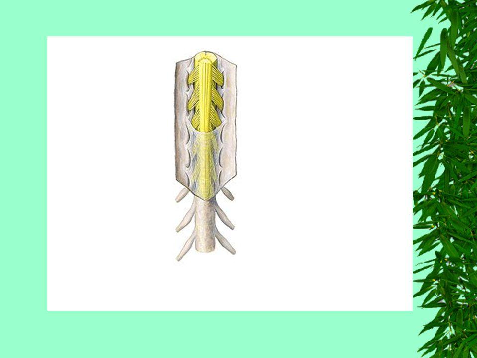 Topografia Vertebromedular No adulto, a medula não ocupa todo o canal vertebral, pois termina ao nível da 2 vértebra lombar.
