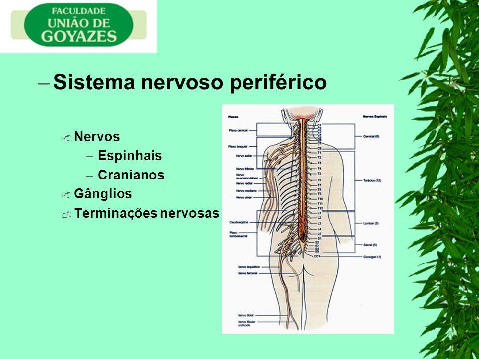 –Sistema nervoso periférico Nervos –Espinhais –Cranianos Gânglios Terminações nervosas