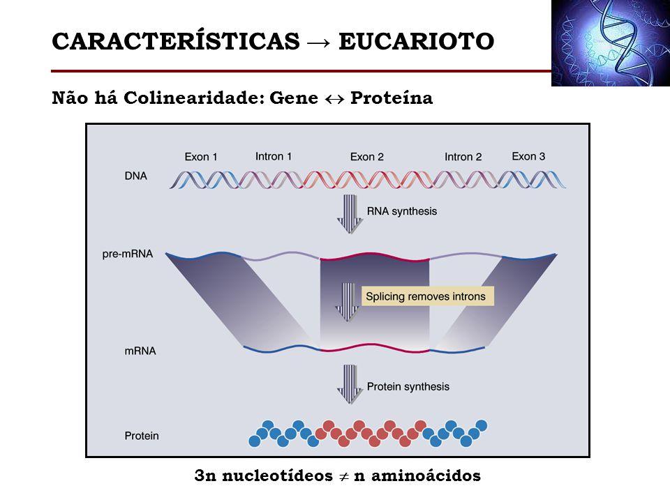 Não há Colinearidade: Gene Proteína 3n nucleotídeos n aminoácidos CARACTERÍSTICAS EUCARIOTO