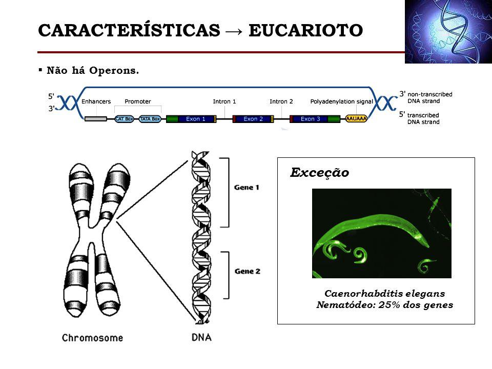 Não há Operons. Exceção Caenorhabditis elegans Nematódeo: 25% dos genes CARACTERÍSTICAS EUCARIOTO