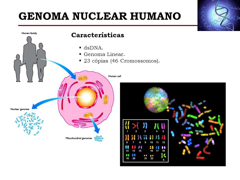 GENOMA NUCLEAR HUMANO dsDNA. Genoma Linear. 23 cópias (46 Cromossomos). Características