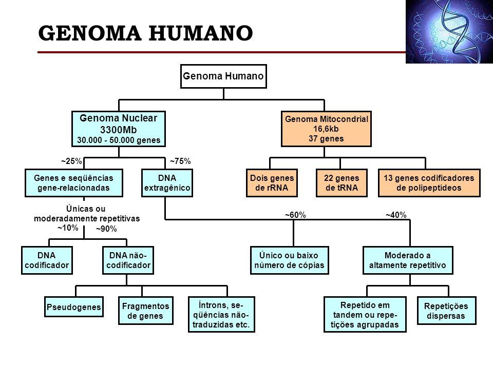 GENOMA HUMANO Genoma Humano Genoma Nuclear 3300Mb 30.000 - 50.000 genes Genoma Mitocondrial 16,6kb 37 genes Dois genes de rRNA 22 genes de tRNA 13 gen