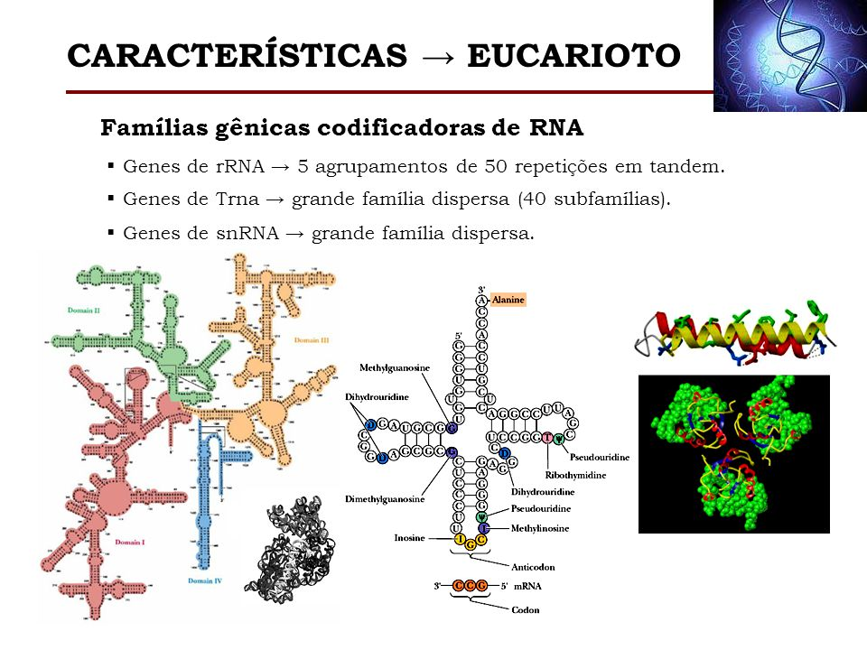 Famílias gênicas codificadoras de RNA Genes de rRNA 5 agrupamentos de 50 repetições em tandem. Genes de Trna grande família dispersa (40 subfamílias).