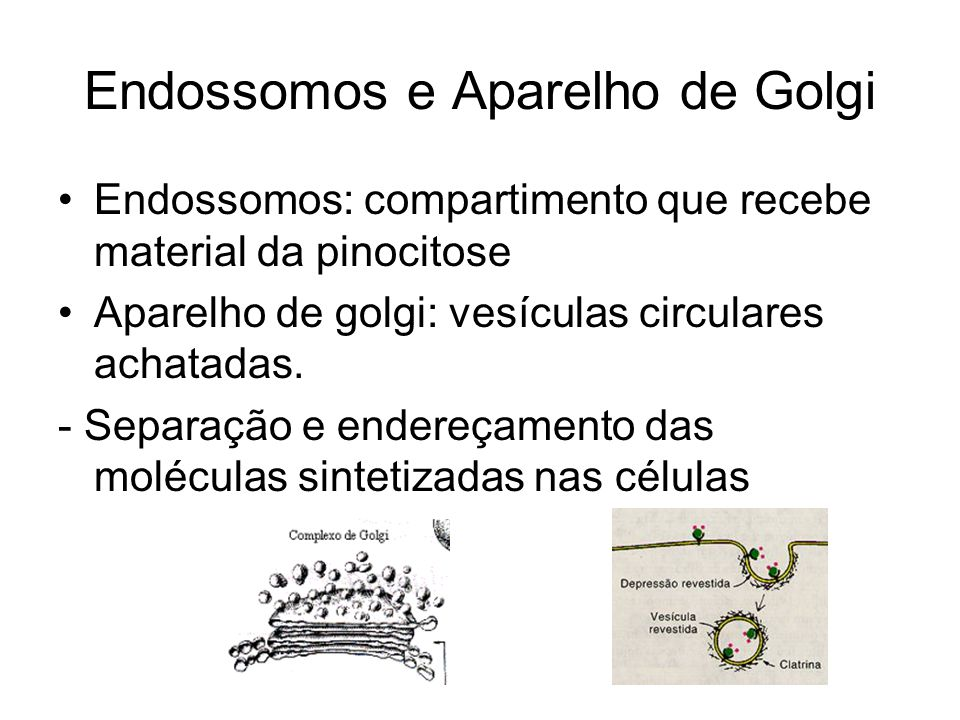Endossomos e Aparelho de Golgi Endossomos: compartimento que recebe material da pinocitose Aparelho de golgi: vesículas circulares achatadas. - Separa