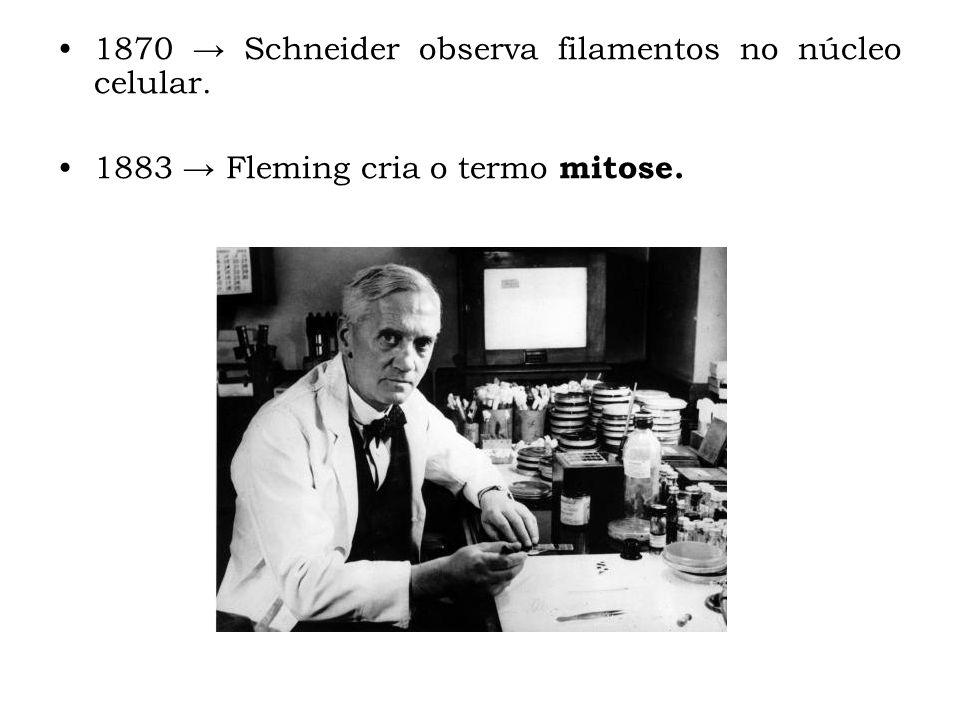 1870 Schneider observa filamentos no núcleo celular. 1883 Fleming cria o termo mitose.