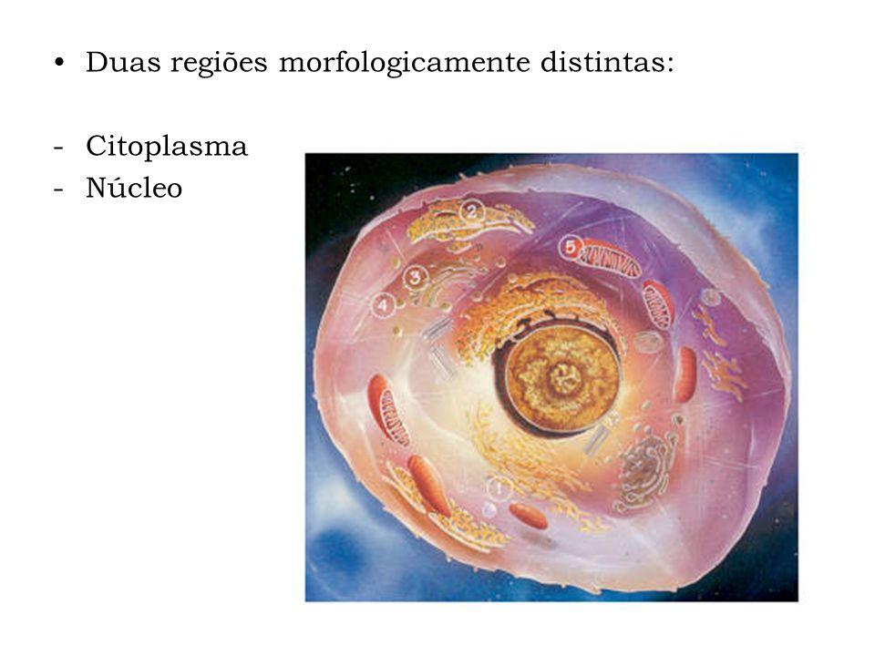 Duas regiões morfologicamente distintas: -Citoplasma -Núcleo