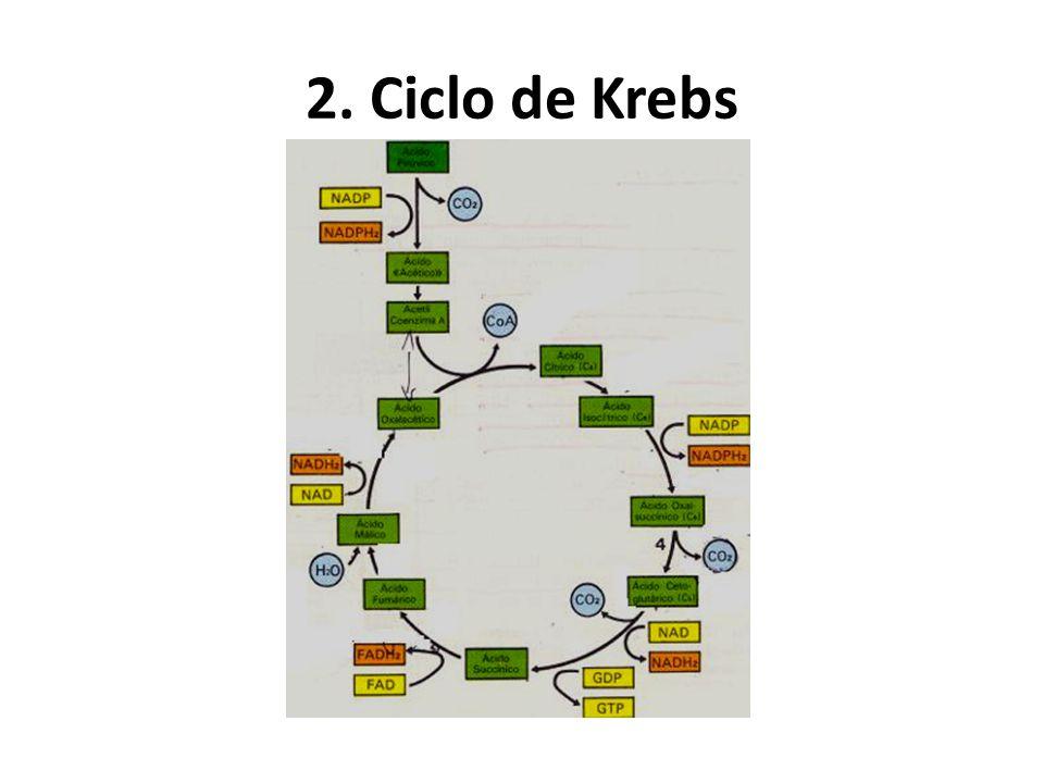2. Ciclo de Krebs