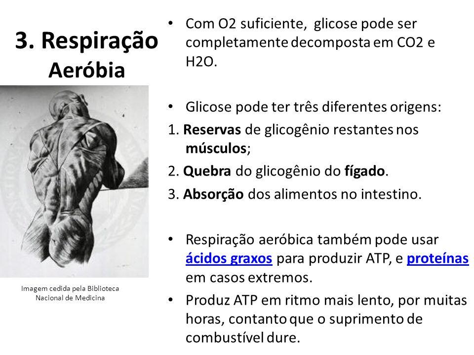 3. Respiração Aeróbia Com O2 suficiente, glicose pode ser completamente decomposta em CO2 e H2O. Glicose pode ter três diferentes origens: 1. Reservas