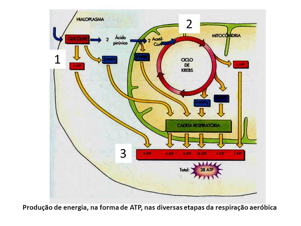 Produção de energia, na forma de ATP, nas diversas etapas da respiração aeróbica 1 2 3