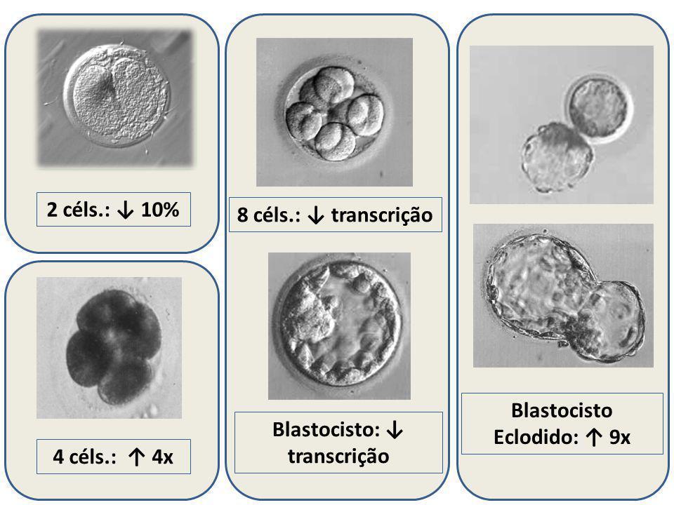2 céls.: 10% Blastocisto: transcrição 4 céls.: 4x 8 céls.: transcrição Blastocisto Eclodido: 9x