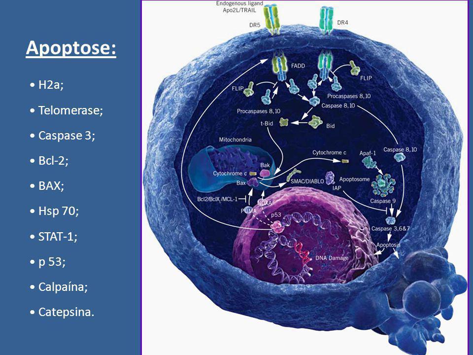 Apoptose: H2a; Telomerase; Caspase 3; Bcl-2; BAX; Hsp 70; STAT-1; p 53; Calpaína; Catepsina.