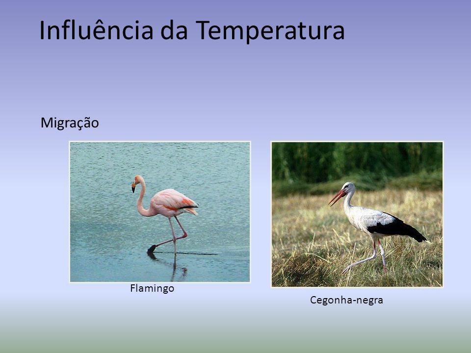 Influência da Temperatura Migração Flamingo Cegonha-negra